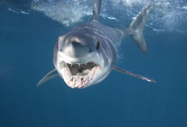 Mako Sharks in the med